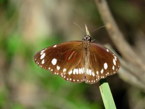 Common Crow - Euploea core - male sex brand - 27 April 2019