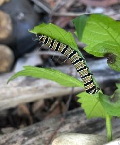 Crow or Donovan's Day Moth - caterpillar on Cayratia clematidea - 21 April 201(