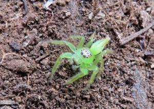 Green Jumping Spider - Mopsus mormon - 6 April 2019