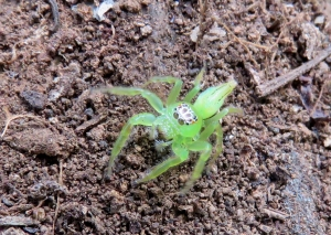 Green Jumping Spider - Mopsus mormon - 6 April 2019