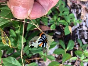 Joseph Coat Moth - Agarista agricola - Clematicissusopaca - 21 April 2019
