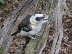 Kookaburra with lunch - 11 April 2019