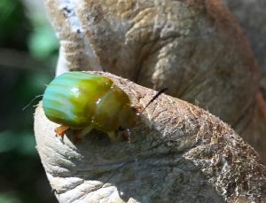 Green Strip Leaf Beetle - Calomela pallida - 11 May 2019