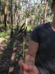 Lance-leaved Rattlepod - Crotalaria lanceolata - weed - 11 May 2019