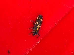 Variable Ladybird Beetle - Coelophora inaequalis - larvae - 11 May 2019