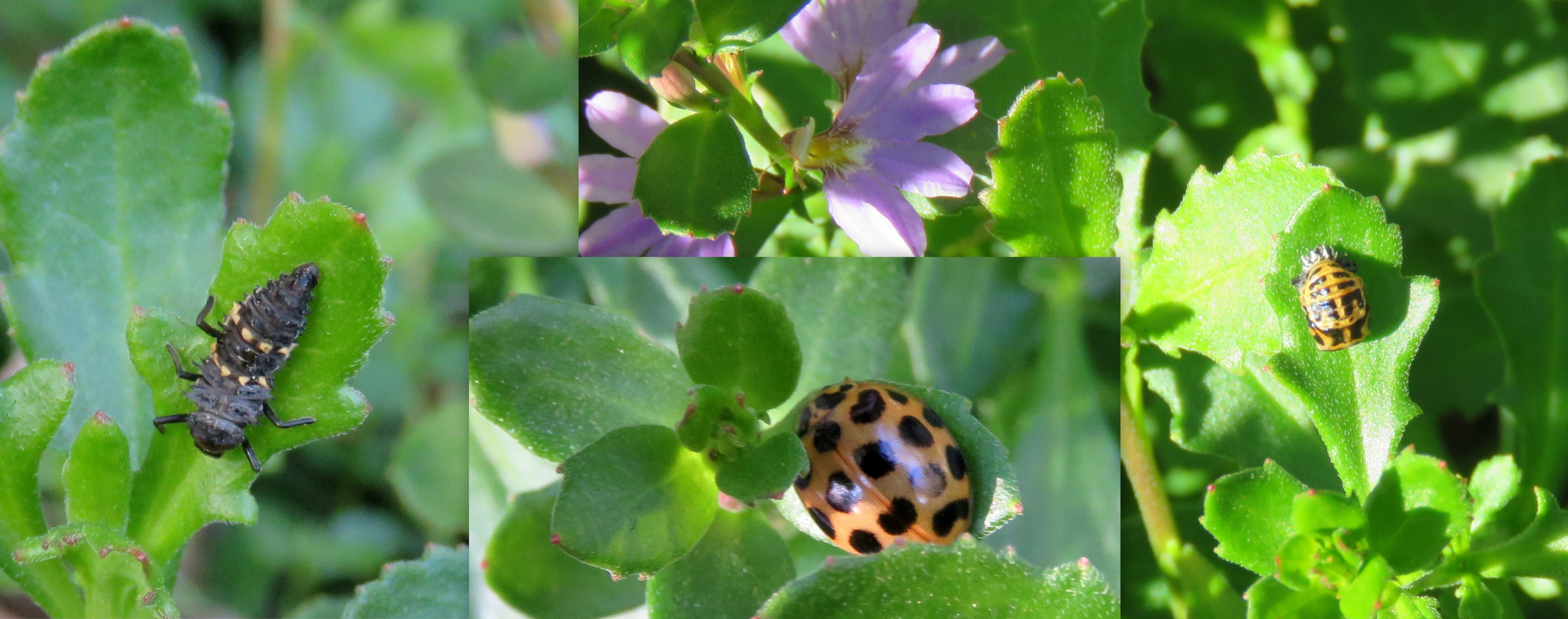 Common Spotted Ladybird - life stages - 20 July 2019