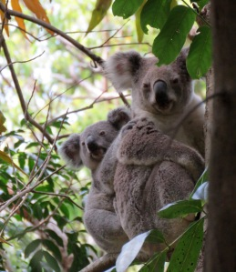 Koala Mum & Joey - 29 Oct 2019 cropped