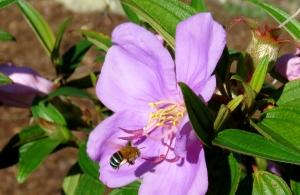 Blue Banded Bee - Amegilla cingulata - 1 Mar 2020