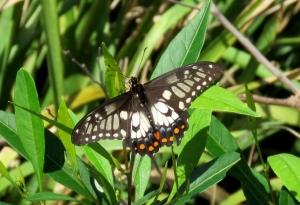 Dainty Swallowtail - Papilio anactus - 1 Mar 2020