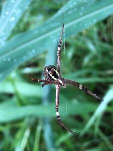 St Andrew's Cross Spider - Argiope Keyserlingi - underside - 10 Mar 2020