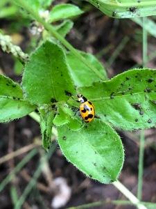 Transverse Ladybird Beetle - Coccinella transversalis - 10 Mar 2020