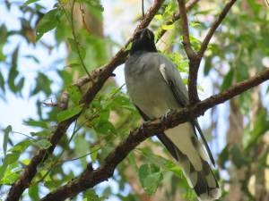 Black-faced Cuckoo Shrike - Coracina novaehollandiae - 17 Mar 2020 lr