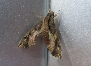 Eupanacra splendens - Hawkmoth -11 May 2020