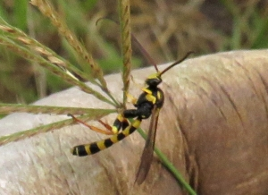 Tiger Ichneumon Wasp - Metopius sp. 2- 1 May 2020