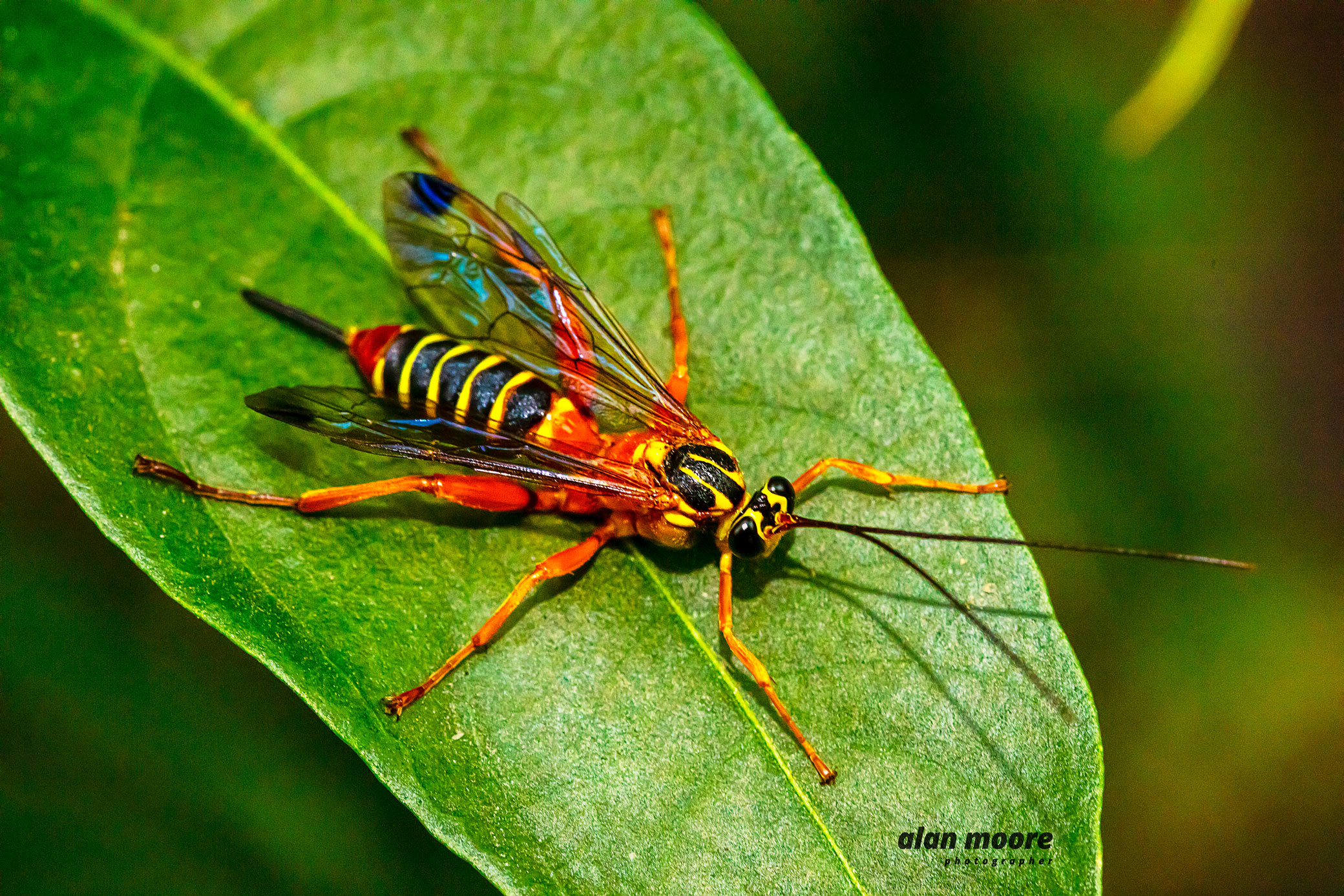 Yellow-banded Ichneumon Wasp - Echthromorpha agrestoria - A Moore 28 May 2020 lr